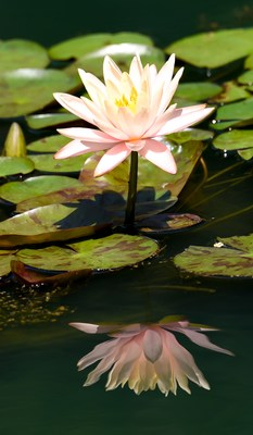 # 2 More than 147 varieties of water lilies grace the Gibbs Garden's Water Lily Gardens offering beautiful tropical and hardy blossoms and jewel-tone flowers. Crystal clear reflections double the beauty of each flower. Photo provided by Gibbs Gardens