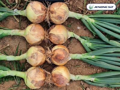 Jenong S&T_Korean Onion Varieties